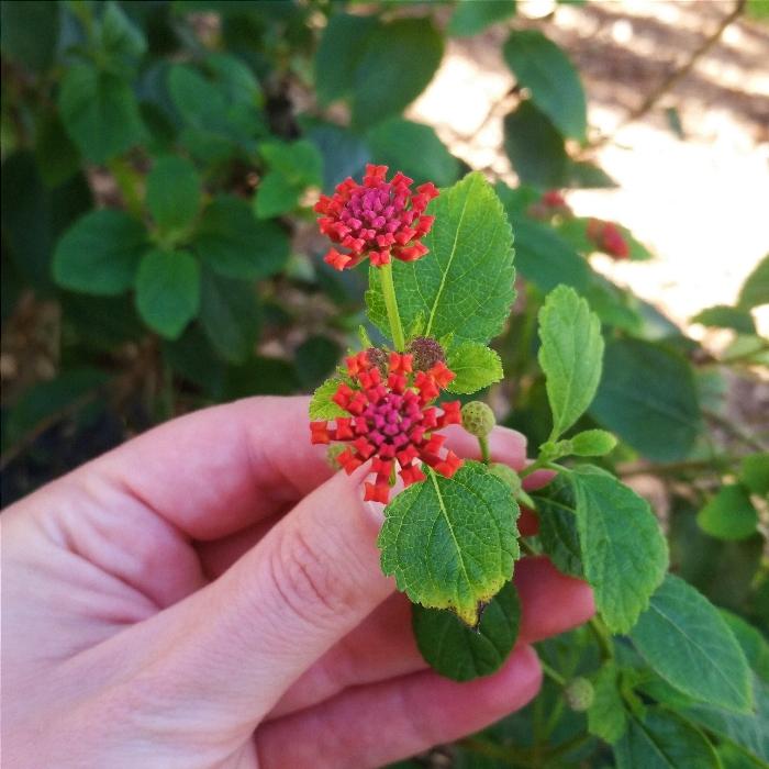 malta-fiori