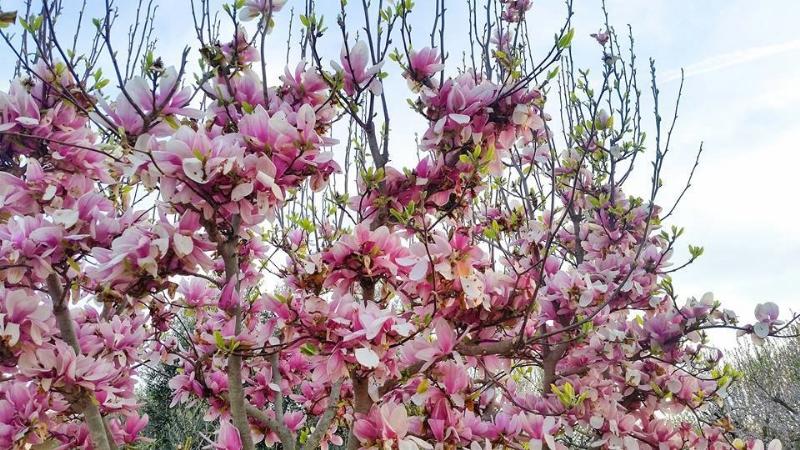 fioritura-Puglia-magnolia